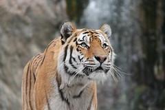 2014-08-17 (211) (CookiiEwe) Tags: park animals sweden stripes wildlife tiger whiskers sverige paws siberian nos djur kolmrden djurpark sibirisk rnder tassar morrhr