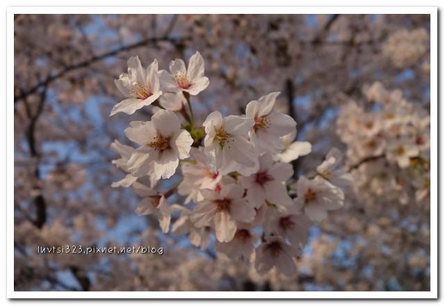 양재천벚꽃20
