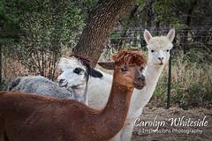 Llama Trio