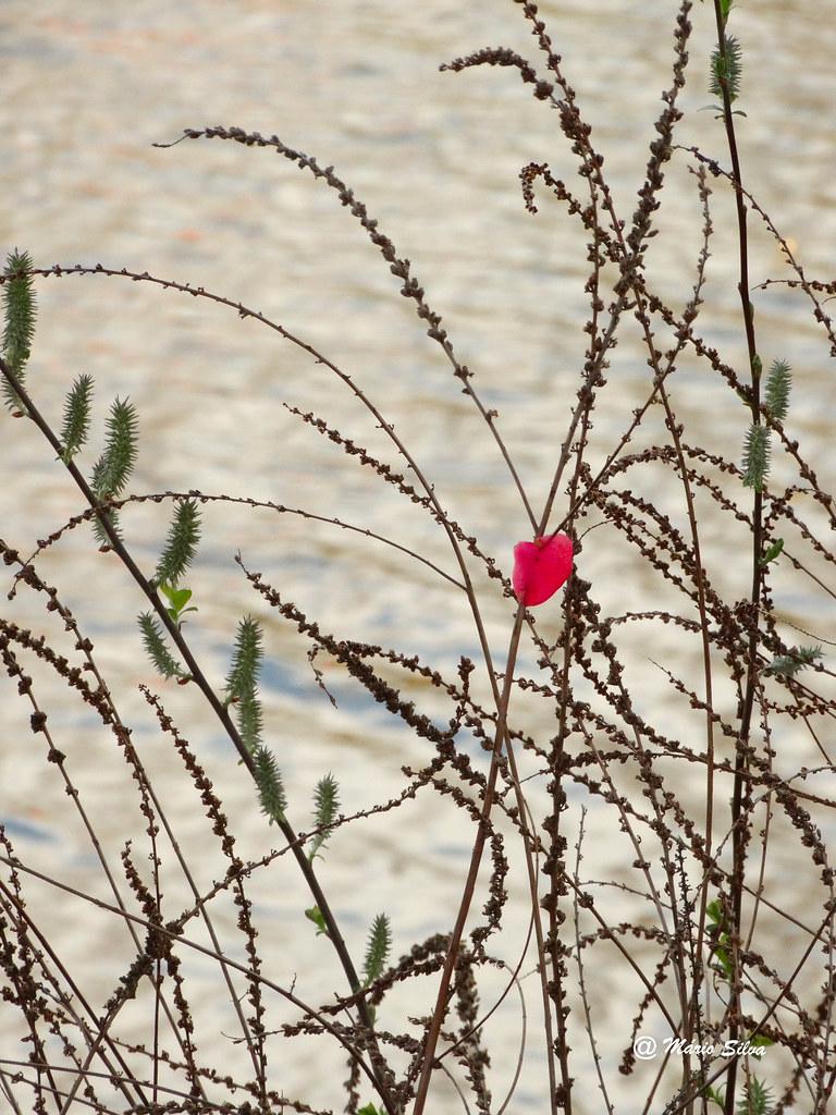 Águas Frias (Chaves) - uma única pétala vermelha ...