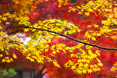 Autumn (Patrick Foto ;)) Tags: park new autumn trees red england orange plant color tree fall texture nature beautiful beauty leaves yellow japan forest garden season landscape japanese gold leaf maple scenery colorful branch natural bright outdoor vibrant background scene foliage jp kytoshi kytofu
