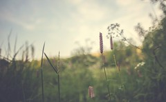 Hidden Away (purpleface) Tags: orchid flower vintage depthoffield bokeh macro sunmer grass