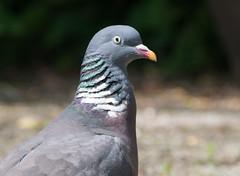 Wood-pigeon (janetvdh) Tags: birds bird woodpigeon duif vogels