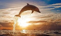 انسان ها و دلفین ها (hodhodmagzine) Tags: hodhod hodhodcanada hodhodmedia انسان بیتعارفباشما دلفین رسانههدهد هدهد هدهدکانادا