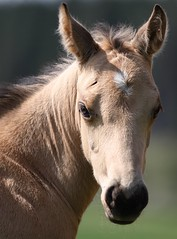 Joe II (winkler.roger) Tags: horse animal colt foal americanquarterhorse domesticanimal