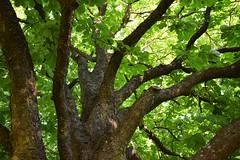 DSC_0056 (Lala89_Photos) Tags: tree green treetrunk grn leafes bltter baum treetop baumstamm baumkrone