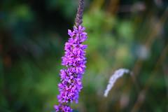 (azyef94) Tags: flower flowerphotography naturebeauty blume photography nature naturephotography pxc flickrnature