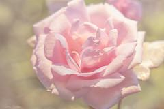 For a little love today (Cindy Scheffer) Tags: pink flowers roses flower green nature rose garden soft pentax bokeh outdoor pastel k3 50mmf17