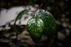 rainy day  (nyachimog) Tags: rain kyoto day drop rainy