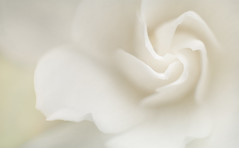 Spring Dreams of Flowing White Petals (Charles Opper) Tags: white painterly flower color macro nature canon petals spring soft bokeh gardenia poeticspring