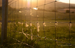 Golden Light (Malcolm Bull) Tags: 20160729millhill0001edited1web mill hill sunset wire fence sheep fleece include south downs national park