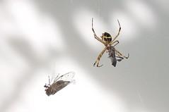 Yummy (Nicolaidis, R) Tags: auto naturaleza nature animal spider nikon feeding web natureza profundidadedecampo hunt aranha teia 2016 alimentao cigarra d90 caa nikond90 aoarlivre nikor18105mm