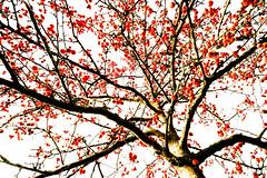 Red Berries I (wide-angle.de) Tags: treesii de germany digital y201602