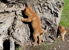 Dingo puppies exploring... (The Pocket Rocket) Tags: dingopups canisdingo dingodiscoverysanctuaryandresearchcentre toolernvale victoria australia