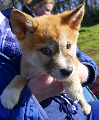 Dingo puppy... (The Pocket Rocket) Tags: dingopups canisdingo dingodiscoverysanctuaryandresearchcentre toolernvale victoria australia