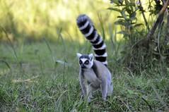 Madagascar_2015--0303 (oivluF60) Tags: madagascar vakona private reserve andasibe parco park lemuri lemurs