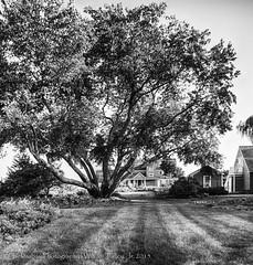 Tree of Life (uselessbay) Tags: 2015 canon charlestown dxofilmpack5 f1 kodaktmax100 landscape nikond300 pondhouse rhodeisland uselessbayphotography williamtalley blackandwhite digital film tree uselessbay