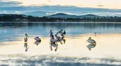 Pelis-at-dusk_DSC5725 (Mel Gray) Tags: lakemacquarie sunset eleebana pelicans birds australia lake water