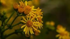 Happy Weekend everyone (Yasmine Hens) Tags: dramatic flowers jaune fleurjaune yellow flower fleur romantic romantique bloem blum hensyasmine hens yasmine flickr namur belgium wallonie europa wow drem magic dream rve