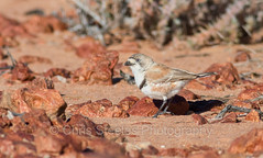 Banded Whiteface (chrissteeles) Tags: bandedwhiteface whiteface cowariestation birdsvilletrack southaustralia sa outback