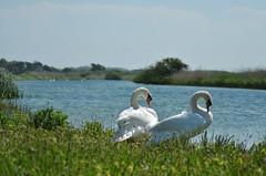 (-Kj.) Tags: swan dune dunearea naturalreserve northholland castricum water summer