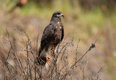 SNAIL KITE FEMALE (concep1941) Tags: hawkandeaglefamily evergladekite freshwatermarshes birds hawks nature
