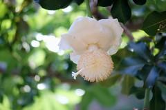バオバブ/Adansonia digitata (nobuflickr) Tags: 20160731dsc04908 バオバブ adansoniadigitata パンヤ科バオバブ属 awesomeblossoms