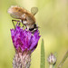 Bee Mimic Fly Pollinating Purple Flower