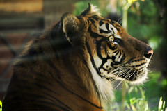 (saramonty24) Tags: tiger orange animals nature wild endangered stripes cat exotic dangerous majestic beautiful whiskers jungle zoo haunting feline
