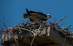 DSC_6091 (Copy) (pandjt) Tags: ny newyorkstate ogdensburg osprey bird fisheagle seahawk fishhawk raptor