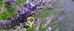 bumblebee on lavender (Martin LaBar) Tags: coastalmainebotanicalgardens maine bumblebee lavender flower flowers macro insect hymenoptera lamiaceae
