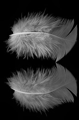 Feather with the Funky Form (KellarW) Tags: dancing blackandwhite peaceful twist symbolic bold light funky fluffy whitefeather peace twisty onblack bw blackwhite white dramatic