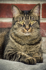 Staring Contest (flashfix) Tags: august312016 2016 2016inphotos nikond7000 nikon ottawa ontario canada 55mm300mm mouse feline cat goldeyes portrait fur whiskers nose brickwall pet paws staredown