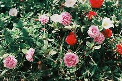 000005e (Hunh Thanh Thng) Tags: film canon ft vit nam viet hoa flower nha trang fujifilm xtra 400