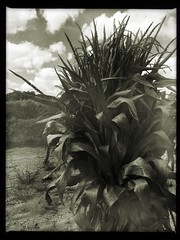 (260/366) Harvest (CarusoPhoto) Tags: black white blackandwhite bw iphone 6 plus hipstamatic app lomo lowfi corn stalk stalks bundle sky john caruso carusophoto photo day project 365 366 autumn fall harvest lonely