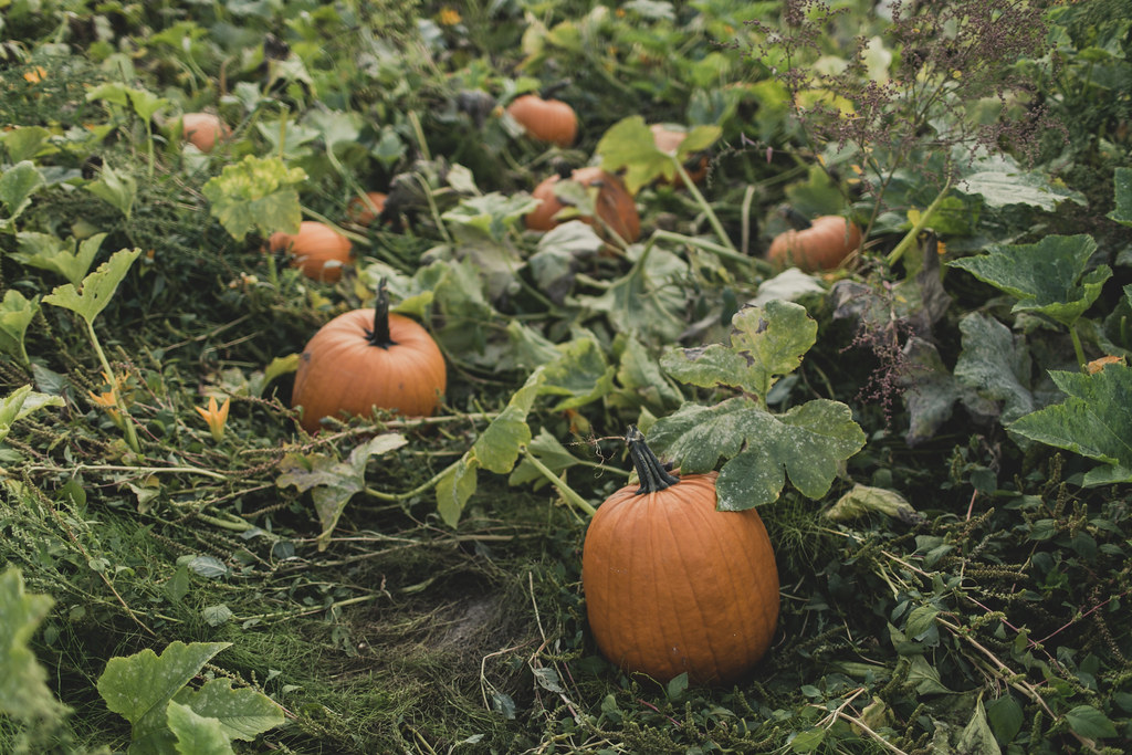 The Pumpkin Patch Sauvie Island Portland, OR
