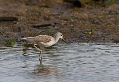 MRC_3582 Archibebe Claro - Greenshank @ 25m (Obsies) Tags: waders limicolas nikon naturaleza birds pajaros water sea archibebe greenshank