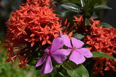 DSC_0067 (Kelson Souza) Tags: flor flores primavera flower flowers natureza beleza jardim jardinagem garden gardens colorido floricultura petalas ptalas florescer