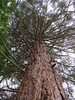 Sequoiadendron giganteum (wallygrom) Tags: england angmering honeylane treehouse tree sequoiadendrongiganteum