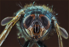 PA070084 e1 MF fr (David Geddes1) Tags: bluebottle fly focusstack eyes compound mouth