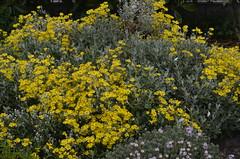 Brachyglottis sunshine (maurits de vries) Tags: newzealand plant flower australian australia exotic shrub australasia exoticplants tropicalplants wwwtropischetuinnl