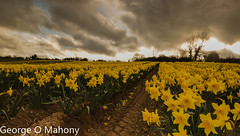 Daffodils (George O Mahony) Tags: spring daffodils color colour waterford ireland portlaw flowers wordsworth