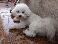 My pup <3 (creepyweirdslove) Tags: houses roof chimney dog baby white house cute bird love window nature birds animal animals puppy flat pigeon pigeons small serbia belgrade beograd alfie srbija