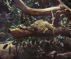 Iguana. (SkipperWP) Tags: berlin germany creativity zoo aquarium fuji artistic creative lizard iguana xf35 xe2