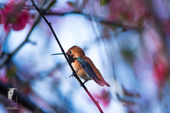 All the Beautiful Things that come with spring ( S. D. 2010 Photography) Tags: portrait macro male nikon colorful sitting hummingbird vibrant details feathers resting rubythroatedhummingbird richcolors d5200 lr5