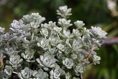 Sfumature di grigio (diemmarig) Tags: sedumspathulifolium sfumaturedigrigio