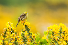 Yellow-2 (Andrew Haynes Wildlife Images) Tags: bird nature yellow norfolk yellowhammer kellingheath