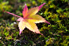 Maple leaf (Patrick Foto ;)) Tags: park november autumn orange brown color green fall nature grass yellow japan gardens season gold leaf drops maple october colorful branch natural outdoor sunny foliage growth dew jp trunk botany kytoshi kytofu