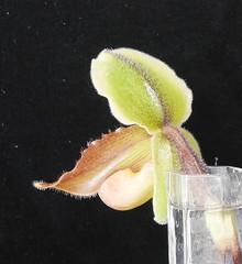 Paphiopedilum Victoria Mariae x druryi (cieneguitan) Tags: lan bunga orkid okid primaryhybrid angrek anggerek