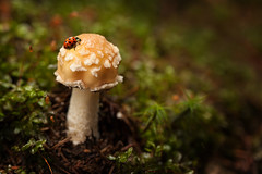 Forest Stroll (Evelyn Ford) Tags: macro mushroom forest miniature moss ladybug toadstool canoneos5dmarkii ef100mmf28lmacroisusm